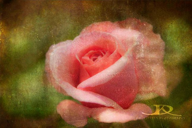 Photo of a pink rose by J.D. Kittles Photography, used with permission