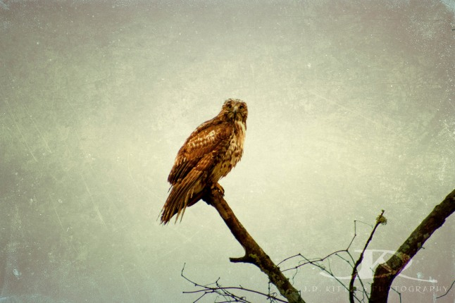Photo of a hawk by J.D. Kittles Photography, used with permission