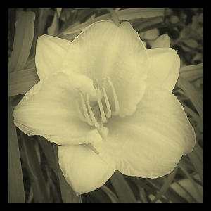 A Small Lily ~ I used the Picsart Camera android app to take the photo and the Pixlr-o-Matic android app to edit it.