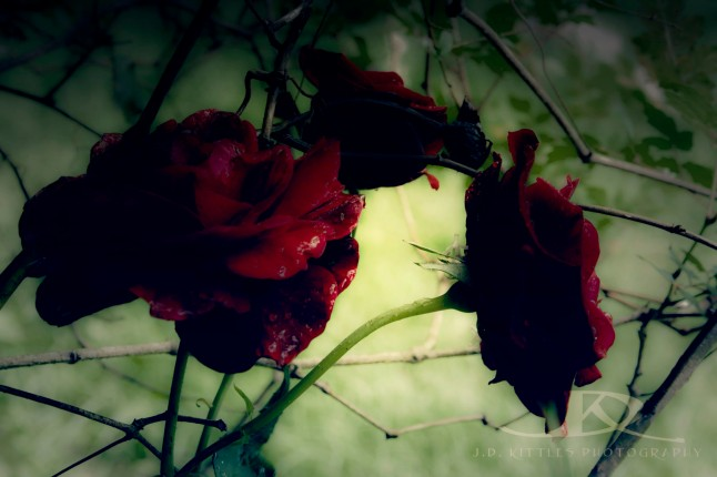Gothic Roses photo by J.D. Kittles Photography ~ Used with permission ~