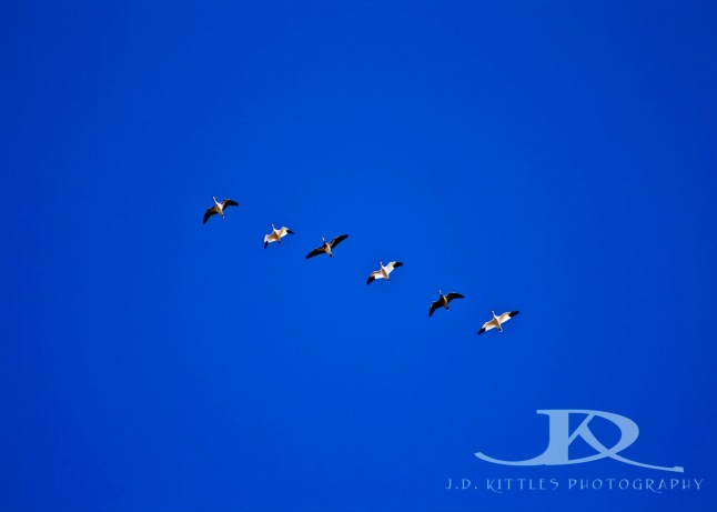 Birds flying in formation ~ photo by J.D. Kittles Photography ~ used with permission