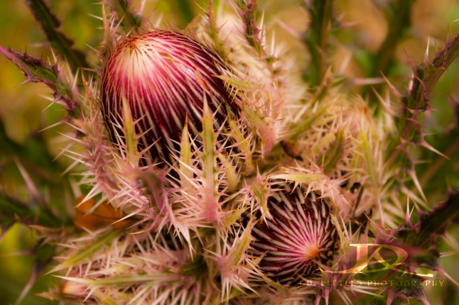 ~ Blooming Thistles ~ photo by J.D. Kittles Photography ~ used with permission ~