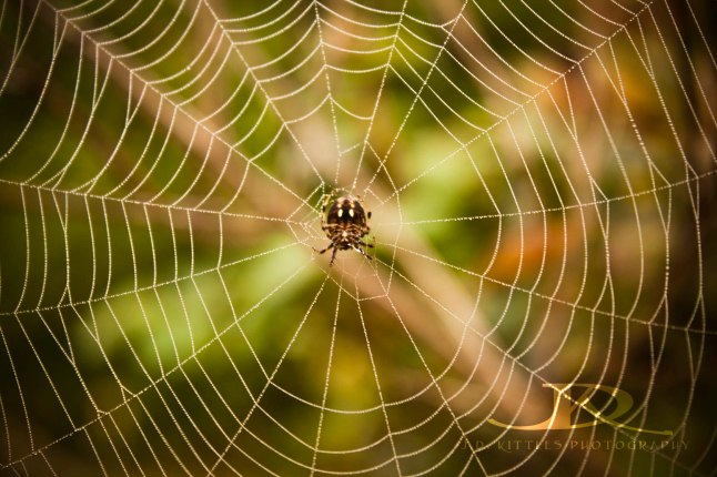 Tiny spider in her web photo by J.D. Kittles Photography ~ Used with permission