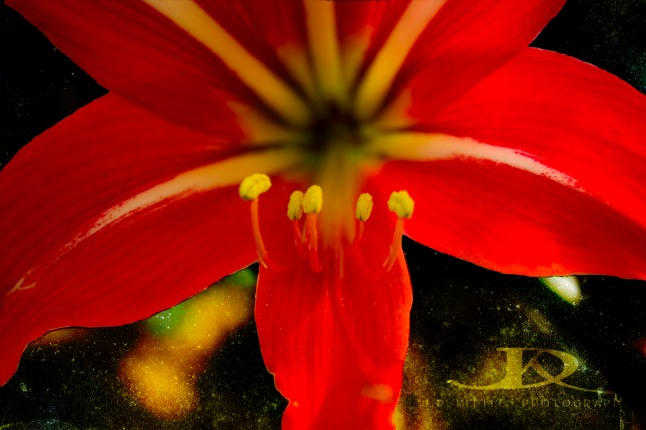 ~ Red Amaryllis Lily ~ photo by J.D. Kittles Photography ~ used with permission ~