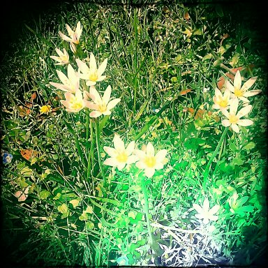 I captured this shot of my favorite little wildflowers. They come back year after year and herald spring. Good stuff! I used PicsArt app to take the photo and Pixlr-O-Matic app to edit it.