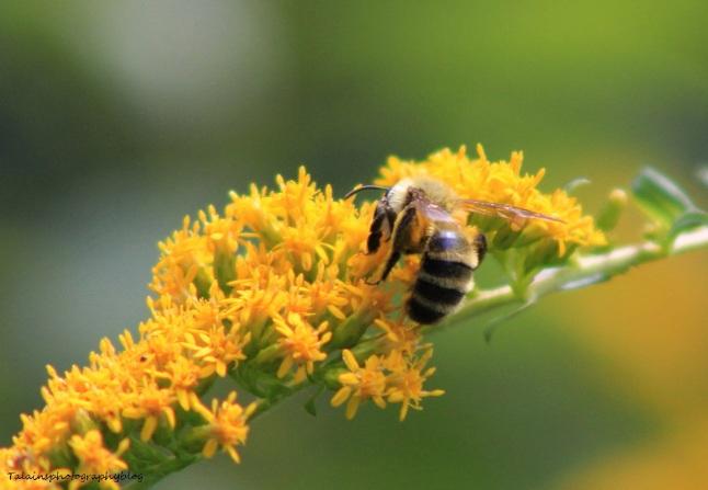 Bee & Hornets 035